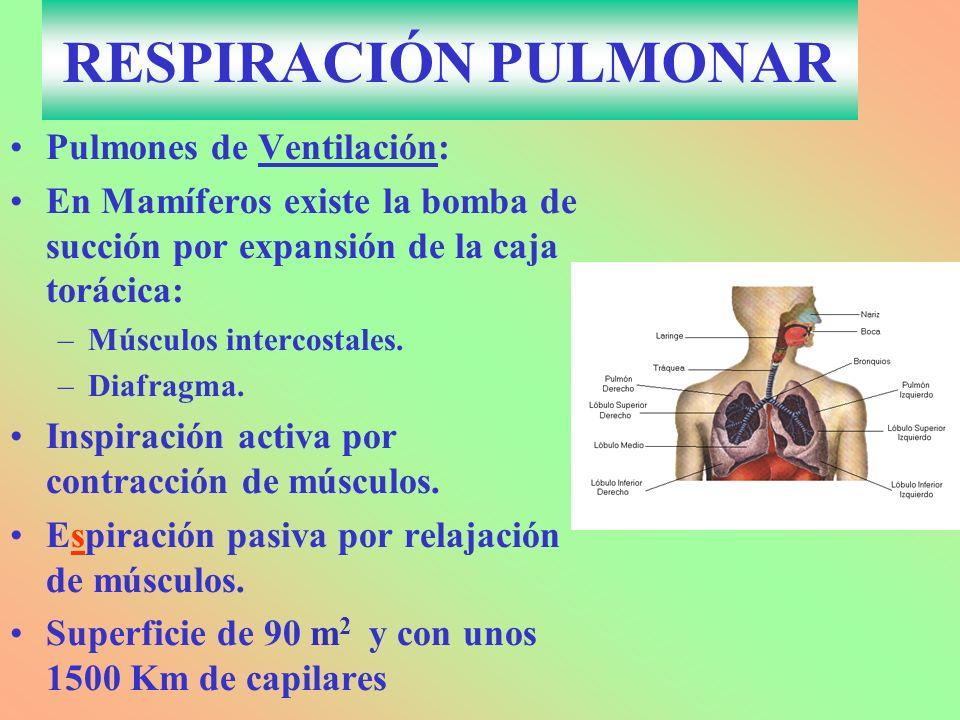 RESPIRACIÓN PULMONAR Pulmones de Ventilación: En Mamíferos existe la bomba de succión por expansión de la caja torácica: –Músculos intercostales. –Dia