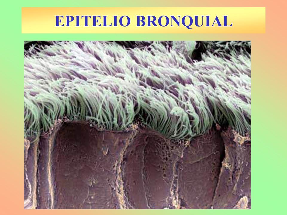EPITELIO BRONQUIAL