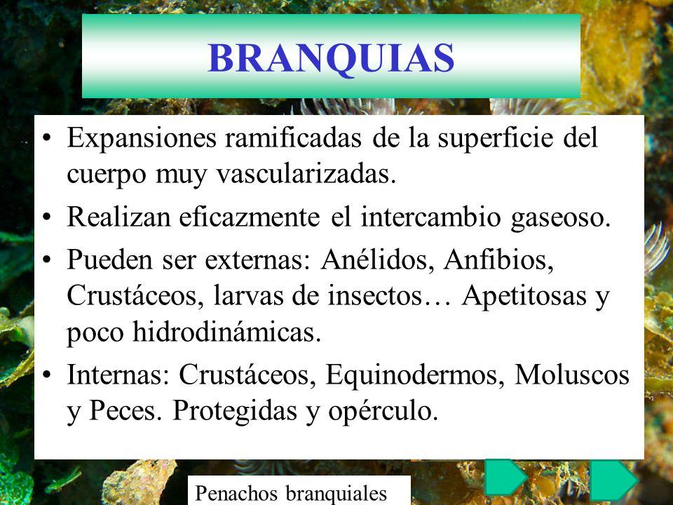 BRANQUIAS Expansiones ramificadas de la superficie del cuerpo muy vascularizadas. Realizan eficazmente el intercambio gaseoso. Pueden ser externas: An