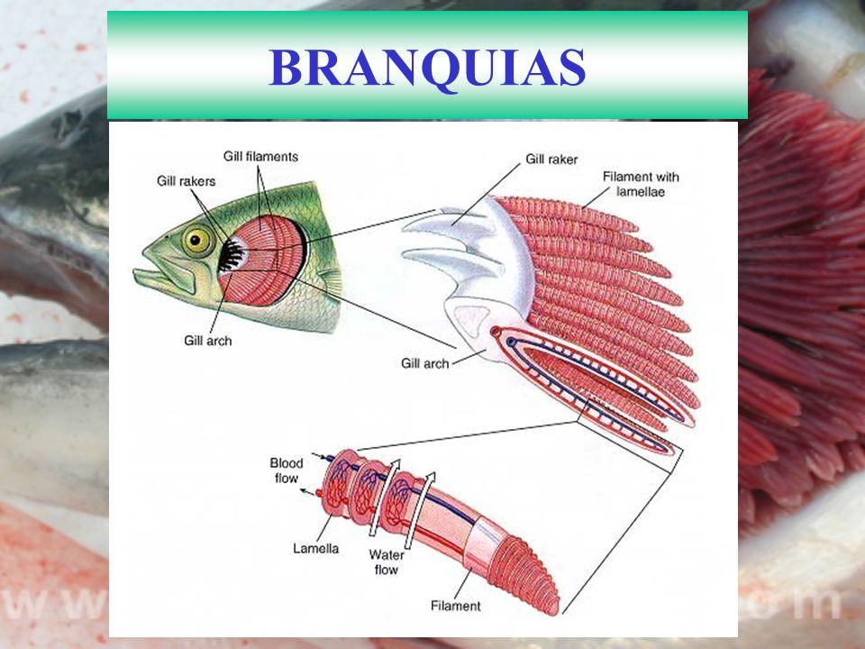 BRANQUIAS