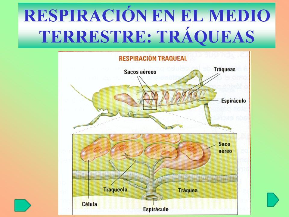 RESPIRACIÓN EN EL MEDIO TERRESTRE: TRÁQUEAS