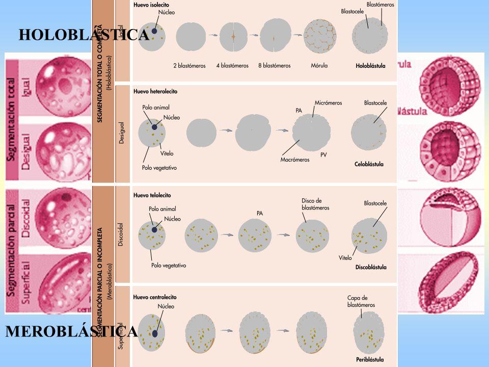 Cigoto 2 PronúcleosMórula 4Mórula 8 Mórula 16Blástula y B. en expansión SEGMENTACIÓN