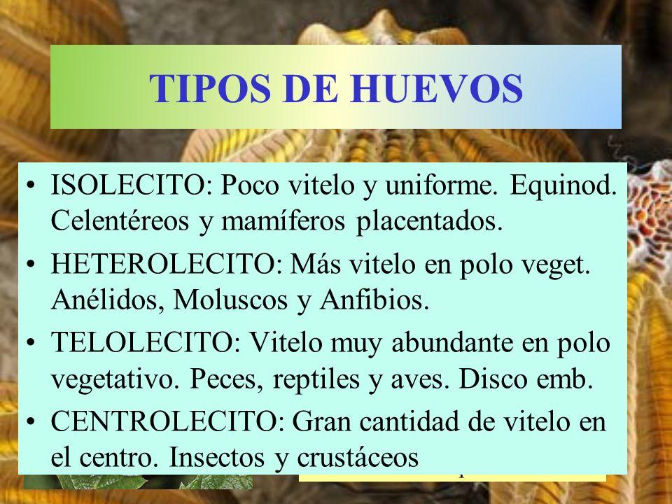 Huevo de la mariposa de la col ISOLECITO: Poco vitelo y uniforme. Equinod. Celentéreos y mamíferos placentados. HETEROLECITO: Más vitelo en polo veget