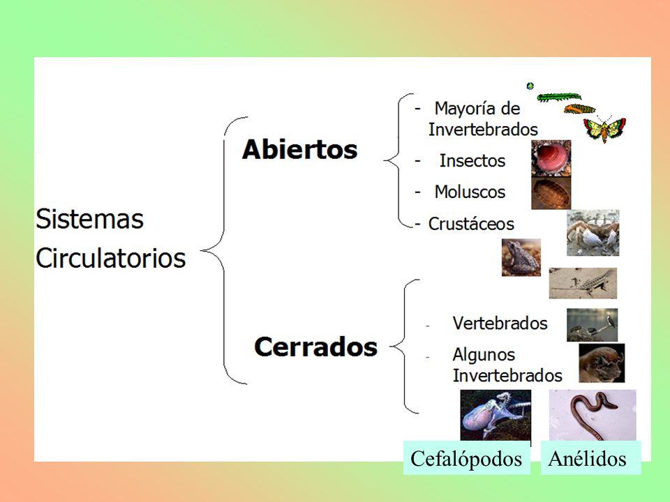 AnélidosCefalópodos