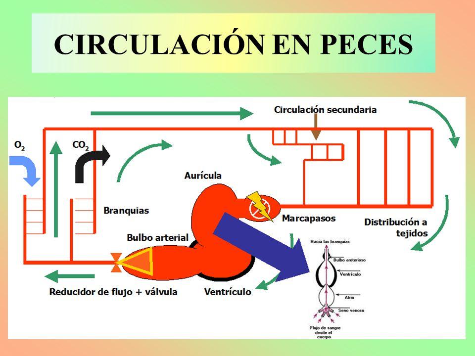 CIRCULACIÓN EN PECES