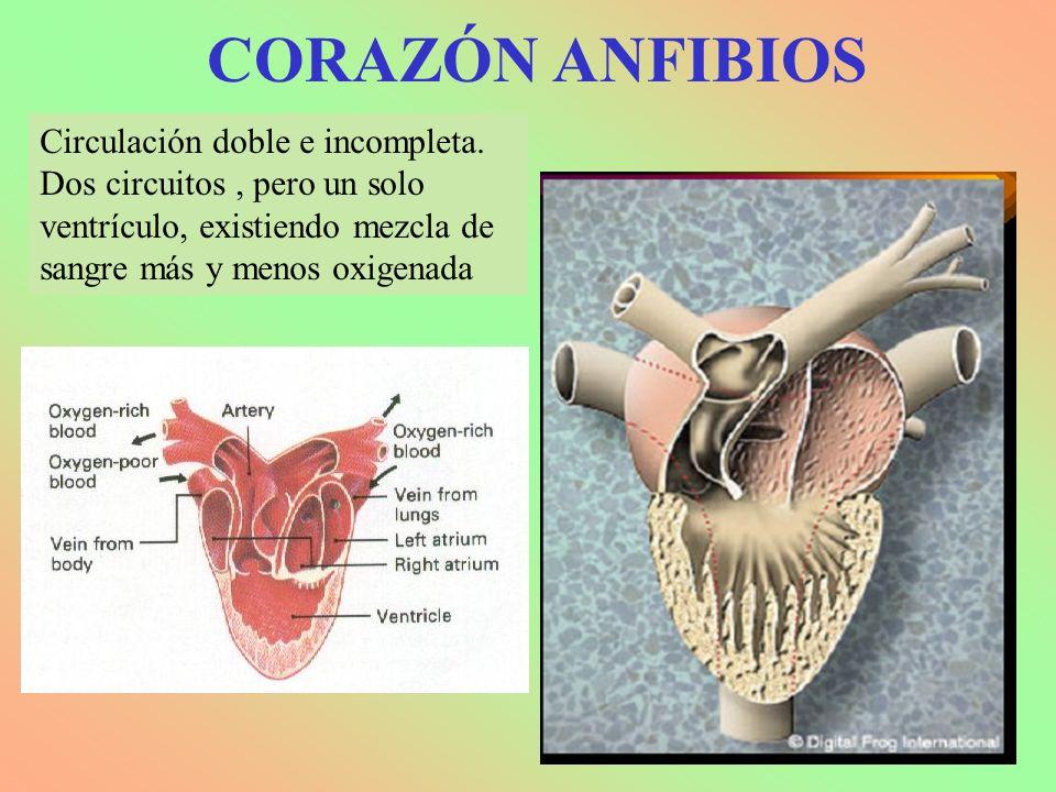 CORAZÓN ANFIBIOS Circulación doble e incompleta. Dos circuitos, pero un solo ventrículo, existiendo mezcla de sangre más y menos oxigenada