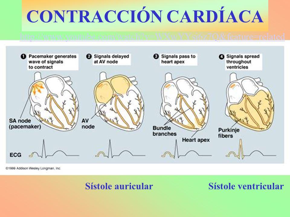 CONTRACCIÓN CARDÍACA Sístole auricularSístole ventricular http://www.youtube.com/watch?v=WXwYYsi6z7Q&feature=related