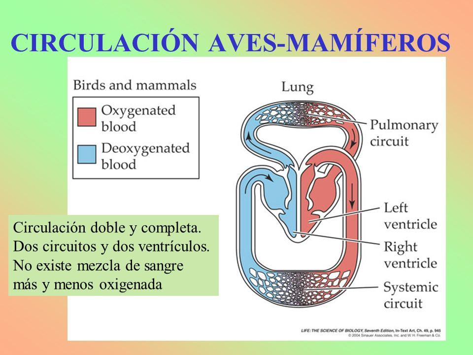 CIRCULACIÓN AVES-MAMÍFEROS Circulación doble y completa. Dos circuitos y dos ventrículos. No existe mezcla de sangre más y menos oxigenada