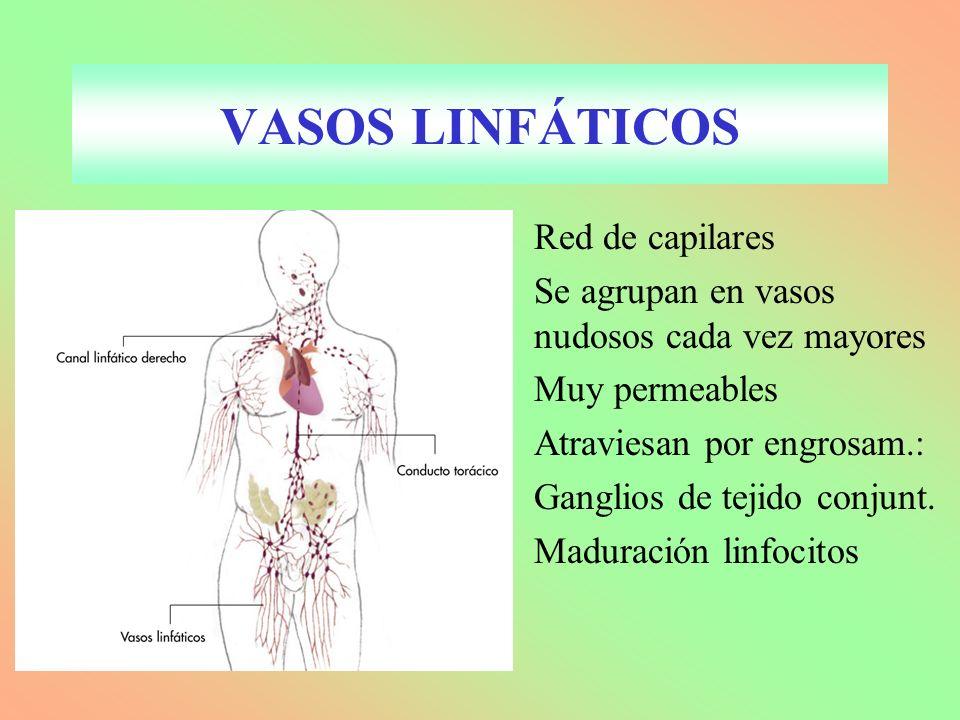 VASOS LINFÁTICOS Red de capilares Se agrupan en vasos nudosos cada vez mayores Muy permeables Atraviesan por engrosam.: Ganglios de tejido conjunt.