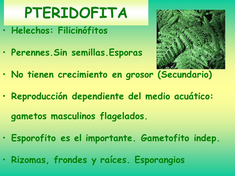 PTERIDOFITA Helechos: Filicinófitos Perennes.Sin semillas.Esporas No tienen crecimiento en grosor (Secundario) Reproducción dependiente del medio acuá