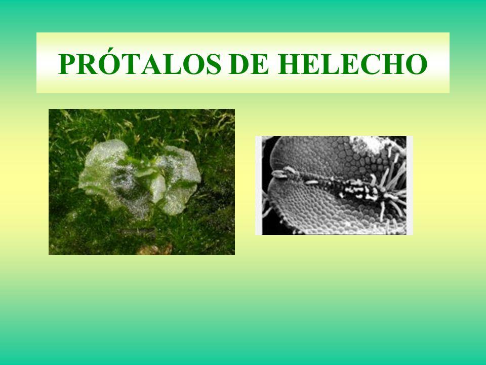 PRÓTALOS DE HELECHO