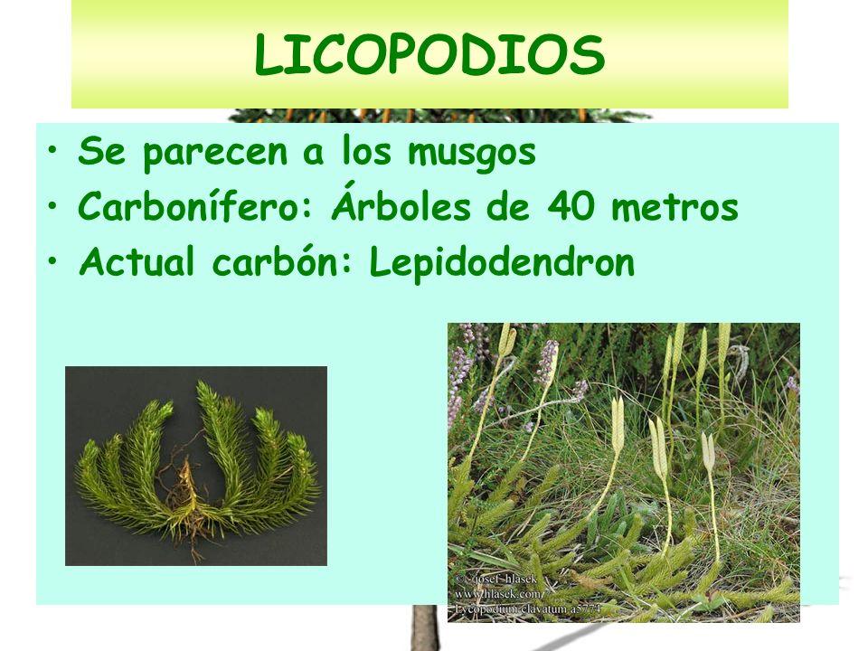 LICOPODIOS Se parecen a los musgos Carbonífero: Árboles de 40 metros Actual carbón: Lepidodendron