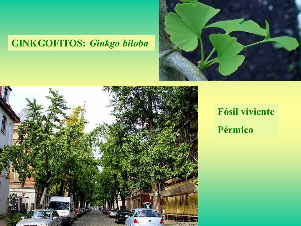 GINKGOFITOS: Ginkgo biloba Fósil viviente Pérmico