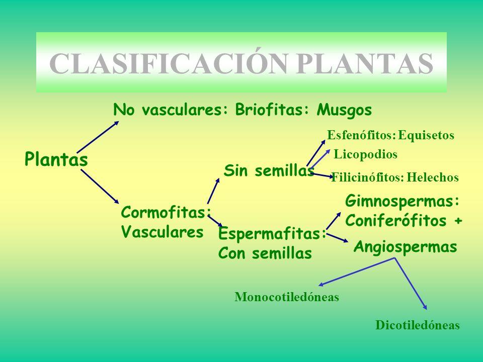 Plantas No vasculares: Briofitas: Musgos Cormofitas: Vasculares Sin semillas Espermafitas: Con semillas Gimnospermas: Coniferófitos + Angiospermas Esf