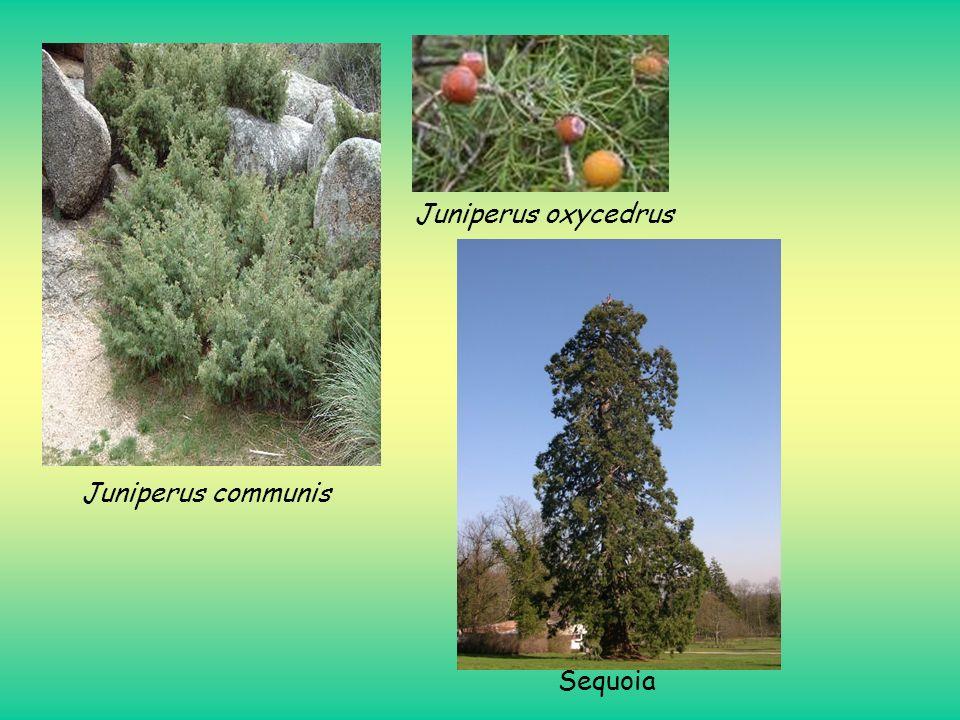Juniperus communis Juniperus oxycedrus Sequoia
