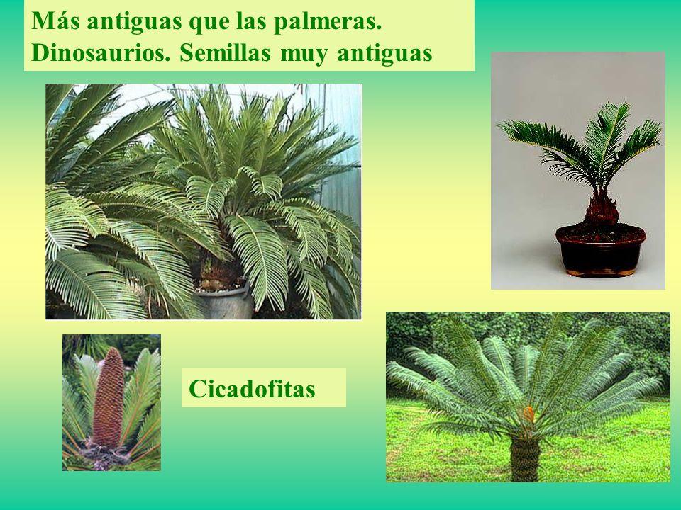 Cicadofitas Más antiguas que las palmeras. Dinosaurios. Semillas muy antiguas