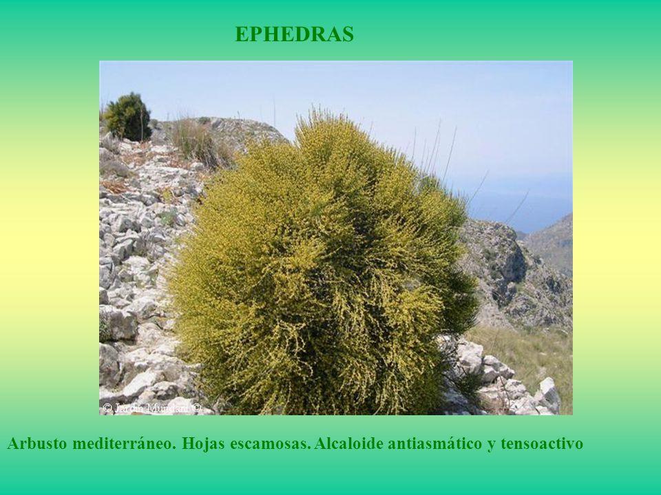 EPHEDRAS Arbusto mediterráneo. Hojas escamosas. Alcaloide antiasmático y tensoactivo