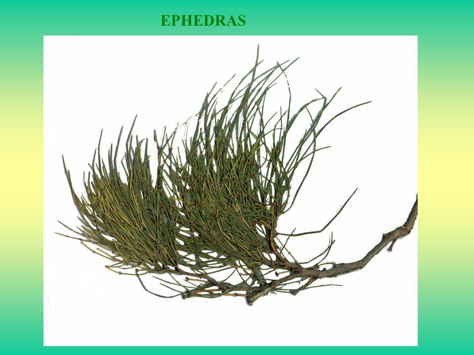 EPHEDRAS