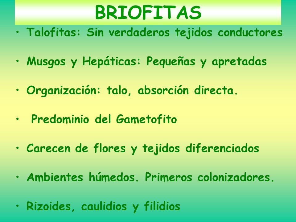 BRIOFITAS Talofitas: Sin verdaderos tejidos conductores Musgos y Hepáticas: Pequeñas y apretadas Organización: talo, absorción directa. Predominio del