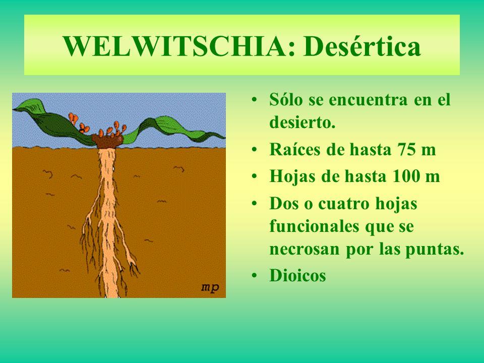 Sólo se encuentra en el desierto. Raíces de hasta 75 m Hojas de hasta 100 m Dos o cuatro hojas funcionales que se necrosan por las puntas. Dioicos