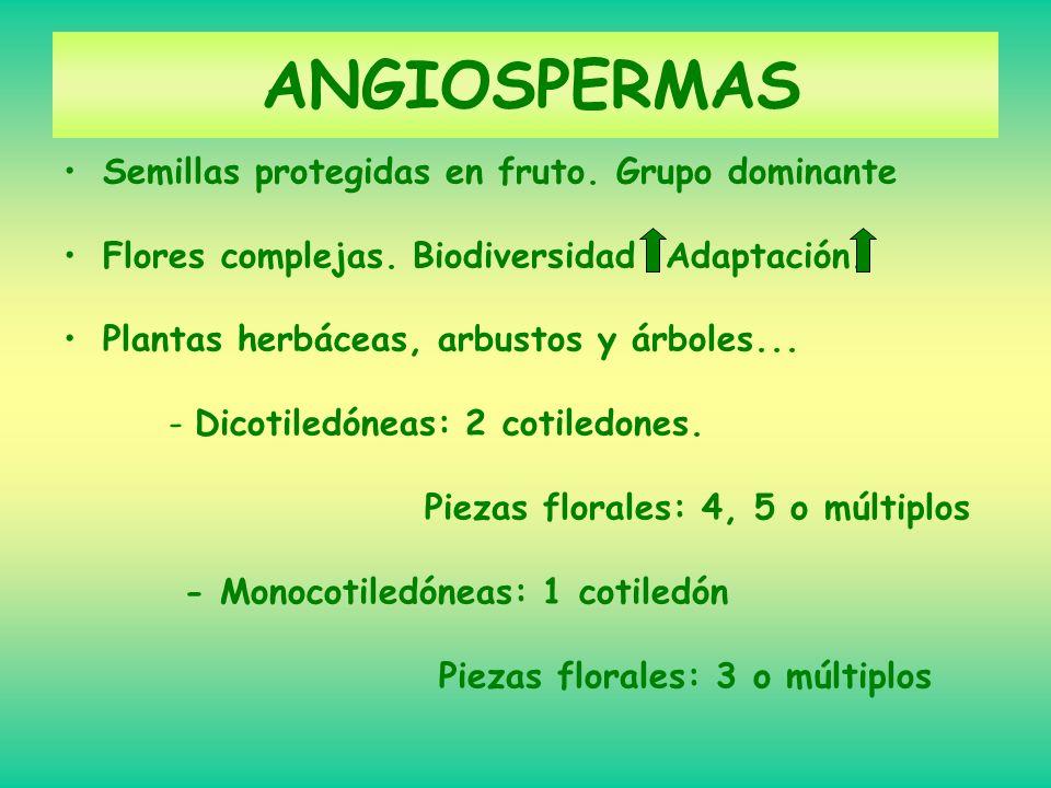 ANGIOSPERMAS Semillas protegidas en fruto. Grupo dominante Flores complejas. Biodiversidad Adaptación. Plantas herbáceas, arbustos y árboles... -Dicot