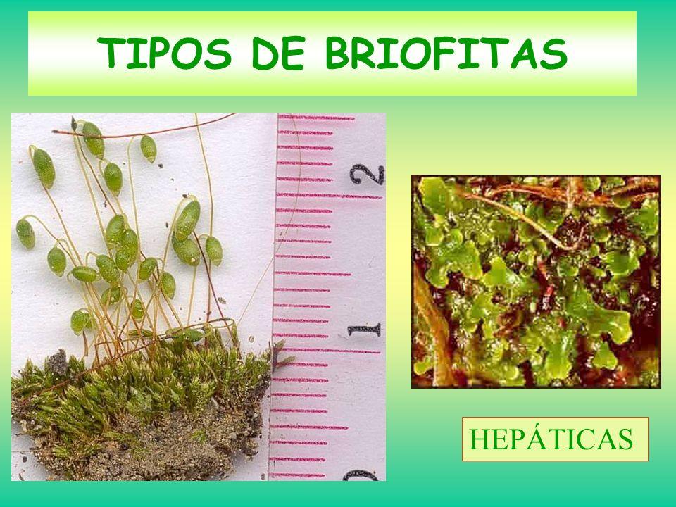 TIPOS DE BRIOFITAS HEPÁTICAS