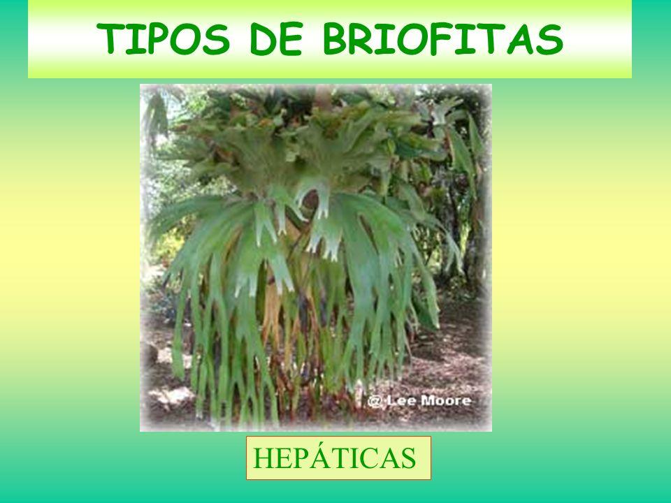 MUSGOS HEPÁTICAS TIPOS DE BRIOFITAS