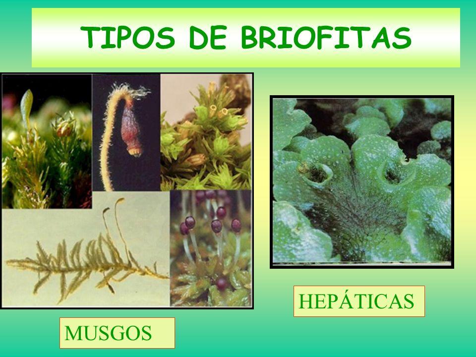 ESPERMAFITAS: VASCULARES CON SEMILLAS Semillas Flores (fanerógamas) Crecimiento secundario en grosor Independencia del medio acuático.