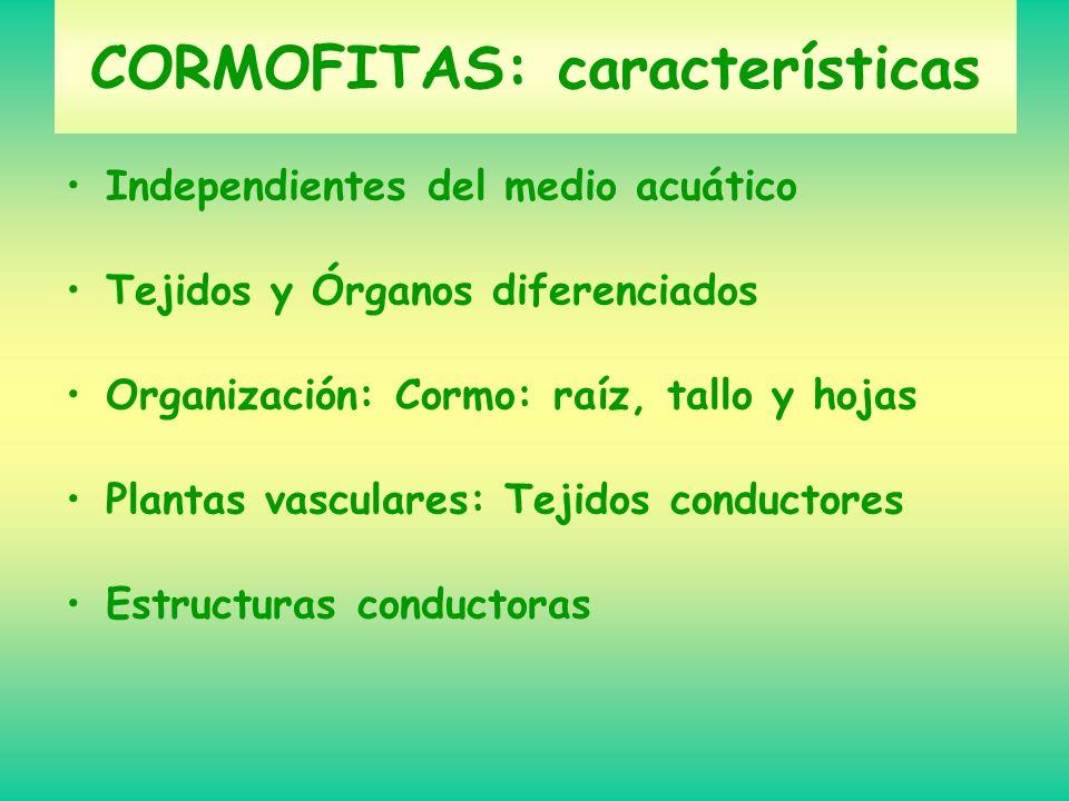 CORMOFITAS: características Independientes del medio acuático Tejidos y Órganos diferenciados Organización: Cormo: raíz, tallo y hojas Plantas vascula