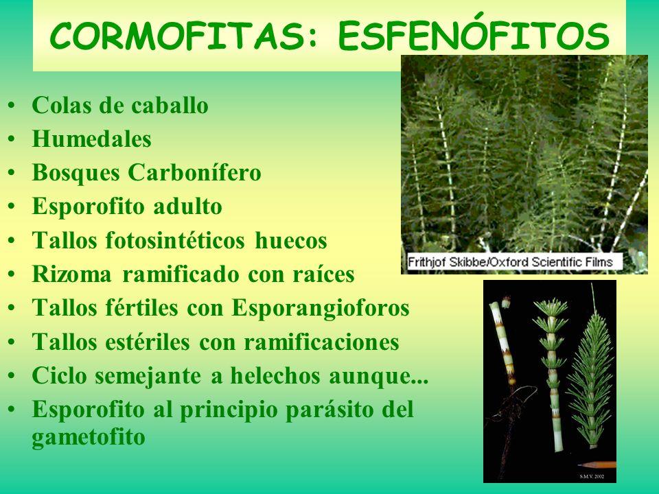Colas de caballo Humedales Bosques Carbonífero Esporofito adulto Tallos fotosintéticos huecos Rizoma ramificado con raíces Tallos fértiles con Esporan