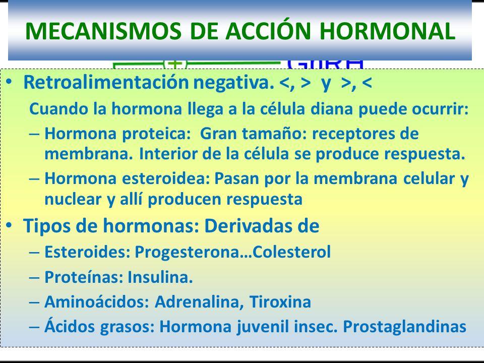 MECANISMOS DE ACCIÓN HORMONAL Retroalimentación negativa. y >, < Cuando la hormona llega a la célula diana puede ocurrir: – Hormona proteica: Gran tam