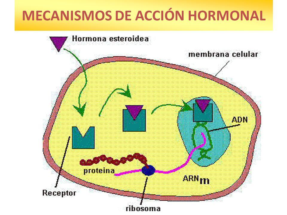 HORMONAS EN INVERTEBRADOS Casi todas son neurohormonas.