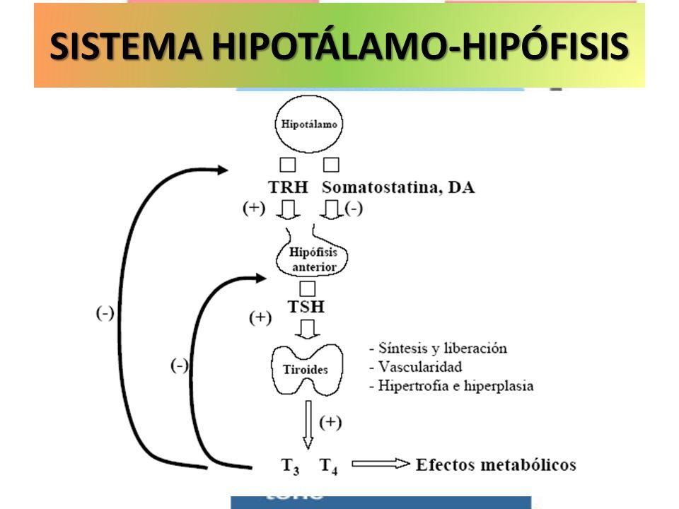 Met. Basal SISTEMA HIPOTÁLAMO-HIPÓFISIS