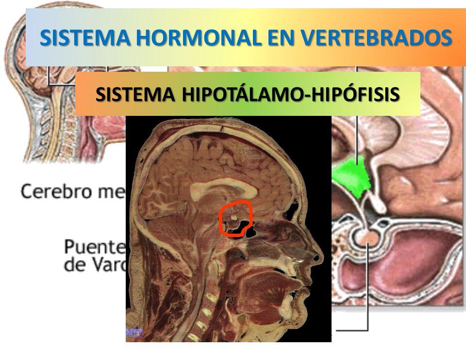 SISTEMA HORMONAL EN VERTEBRADOS SISTEMA HIPOTÁLAMO-HIPÓFISIS