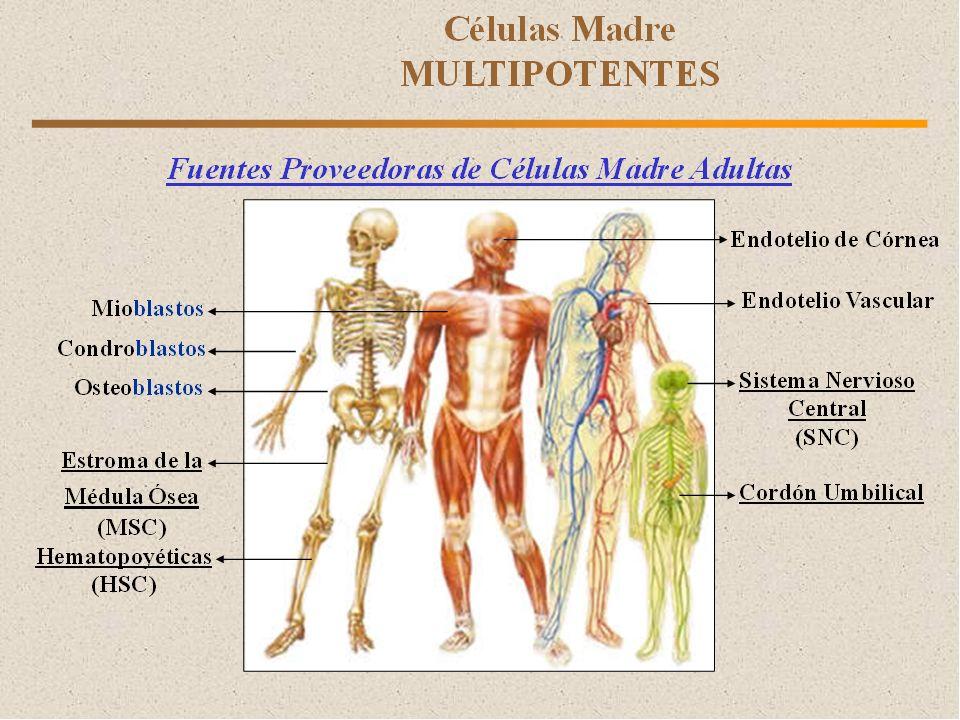 C.MADRE MULTIPOTENTES Línea mieloide.
