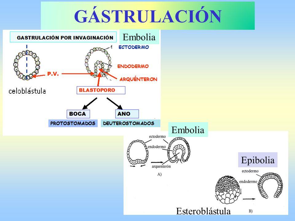 Embolia Epibolia Esteroblástula Embolia