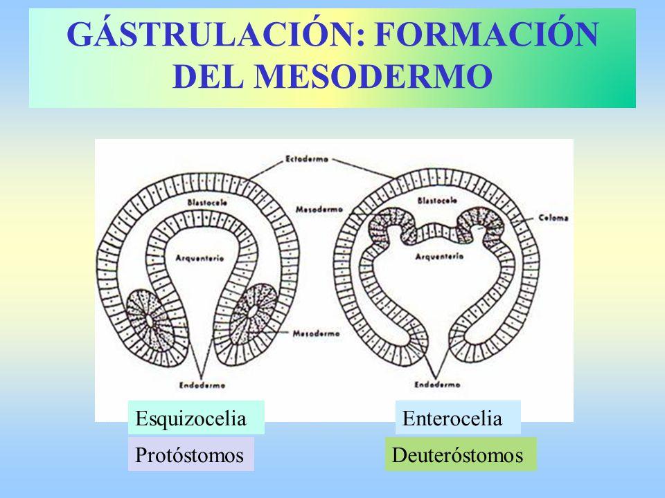 GÁSTRULACIÓN: FORMACIÓN DEL MESODERMO EnteroceliaEsquizocelia ProtóstomosDeuteróstomos