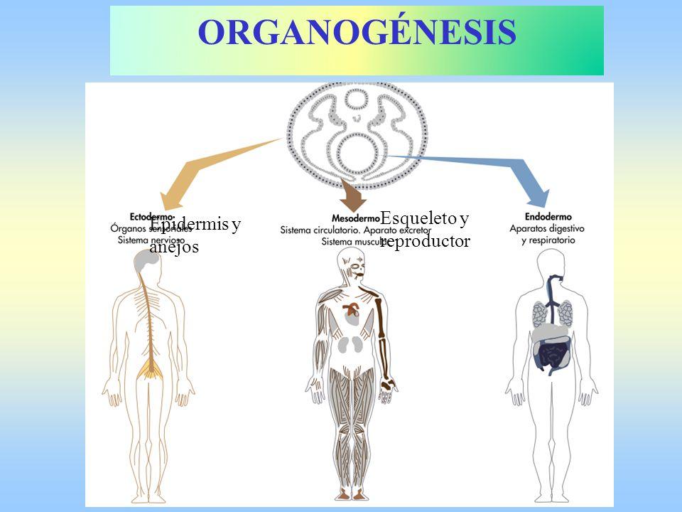 Epidermis y anejos Esqueleto y reproductor ORGANOGÉNESIS
