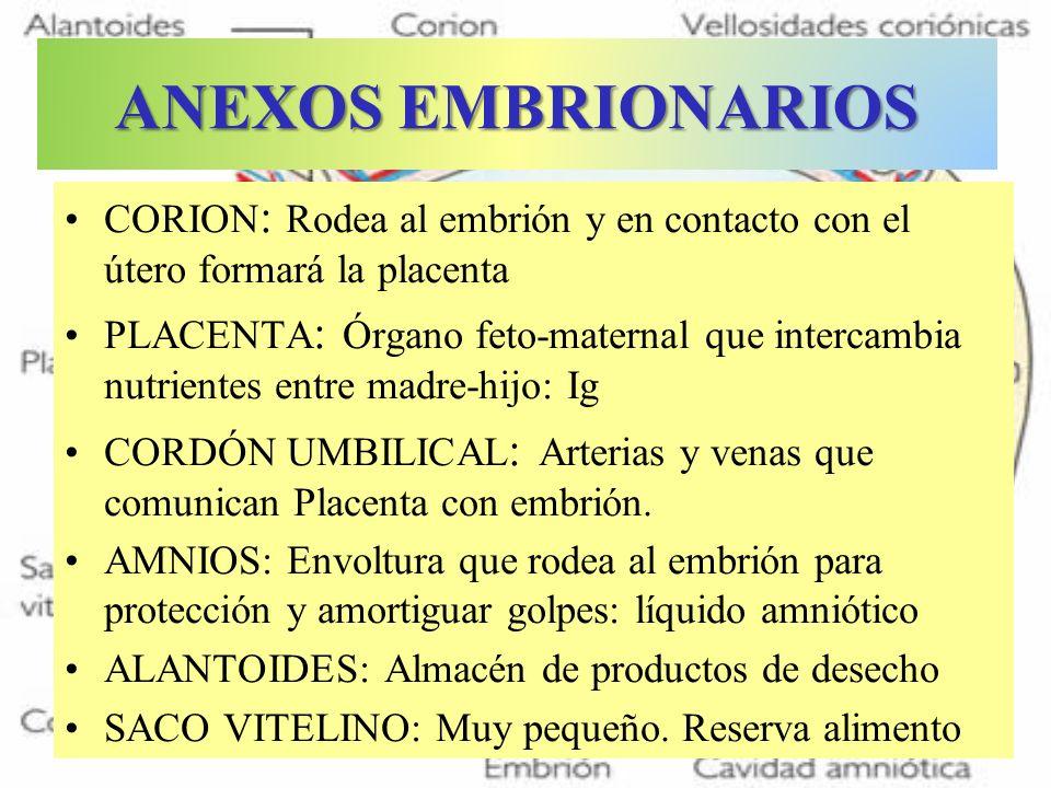 ANEXOS EMBRIONARIOS CORION : Rodea al embrión y en contacto con el útero formará la placenta PLACENTA : Órgano feto-maternal que intercambia nutriente