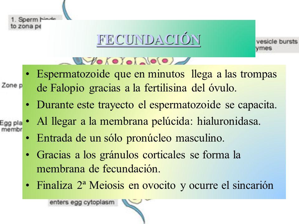 ANEXOS EMBRIONARIOS CORION : Rodea al embrión y en contacto con el útero formará la placenta PLACENTA : Órgano feto-maternal que intercambia nutrientes entre madre-hijo: Ig CORDÓN UMBILICAL : Arterias y venas que comunican Placenta con embrión.