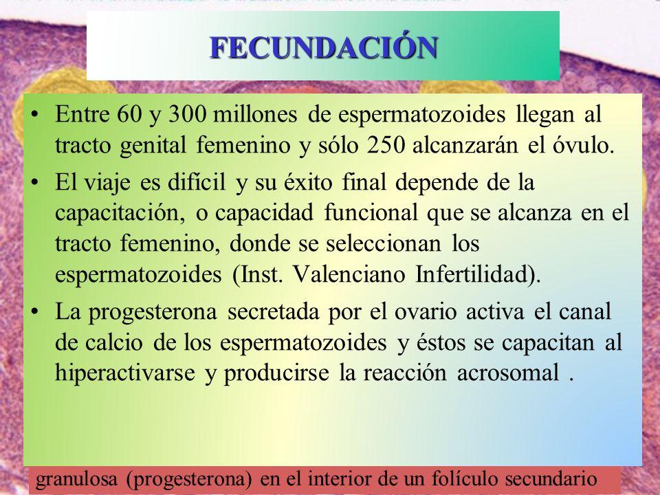 Oocito en el centro, rodeado de zona pelúcida y de la capa granulosa (progesterona) en el interior de un folículo secundario Entre 60 y 300 millones d