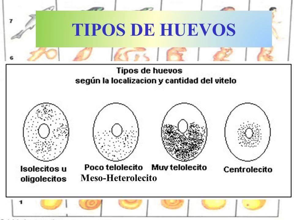 Huevo de la mariposa de la col ISOLECITO: Poco vitelo y uniforme.