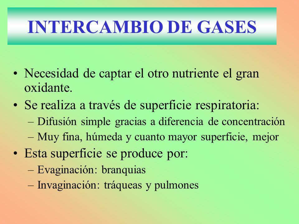 INTERCAMBIO DE GASES Necesidad de captar el otro nutriente el gran oxidante.