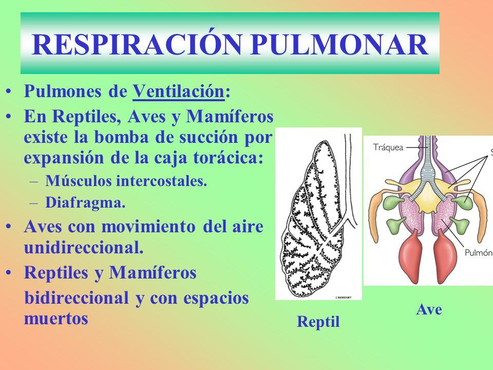 RESPIRACIÓN PULMONAR Pulmones de Ventilación: En Reptiles, Aves y Mamíferos existe la bomba de succión por expansión de la caja torácica: –Músculos intercostales.