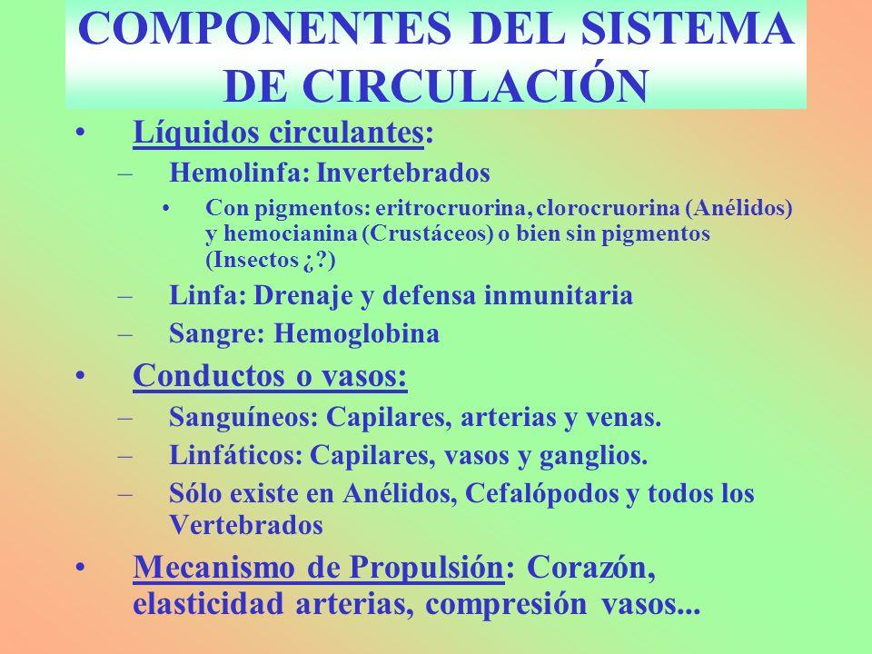 COMPONENTES DEL SISTEMA DE CIRCULACIÓN Líquidos circulantes: –Hemolinfa: Invertebrados Con pigmentos: eritrocruorina, clorocruorina (Anélidos) y hemocianina (Crustáceos) o bien sin pigmentos (Insectos ¿?) –Linfa: Drenaje y defensa inmunitaria –Sangre: Hemoglobina Conductos o vasos: –Sanguíneos: Capilares, arterias y venas.