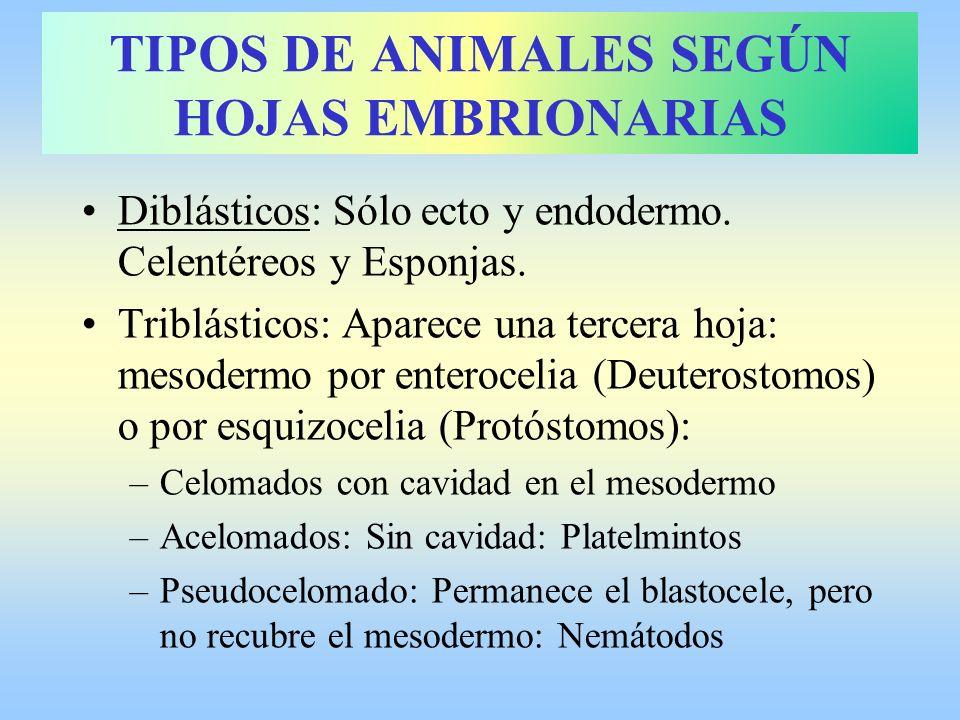 Diblásticos: Sólo ecto y endodermo. Celentéreos y Esponjas. Triblásticos: Aparece una tercera hoja: mesodermo por enterocelia (Deuterostomos) o por es