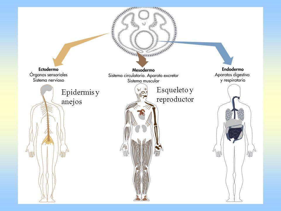 Epidermis y anejos Esqueleto y reproductor