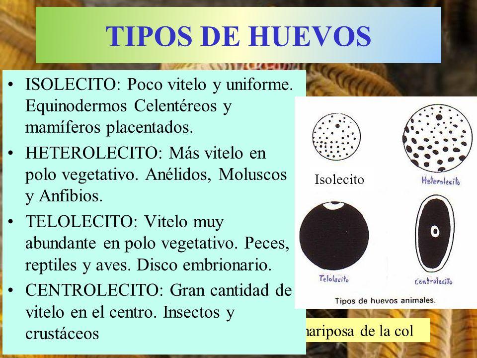 Huevo de la mariposa de la col ISOLECITO: Poco vitelo y uniforme. Equinodermos Celentéreos y mamíferos placentados. HETEROLECITO: Más vitelo en polo v