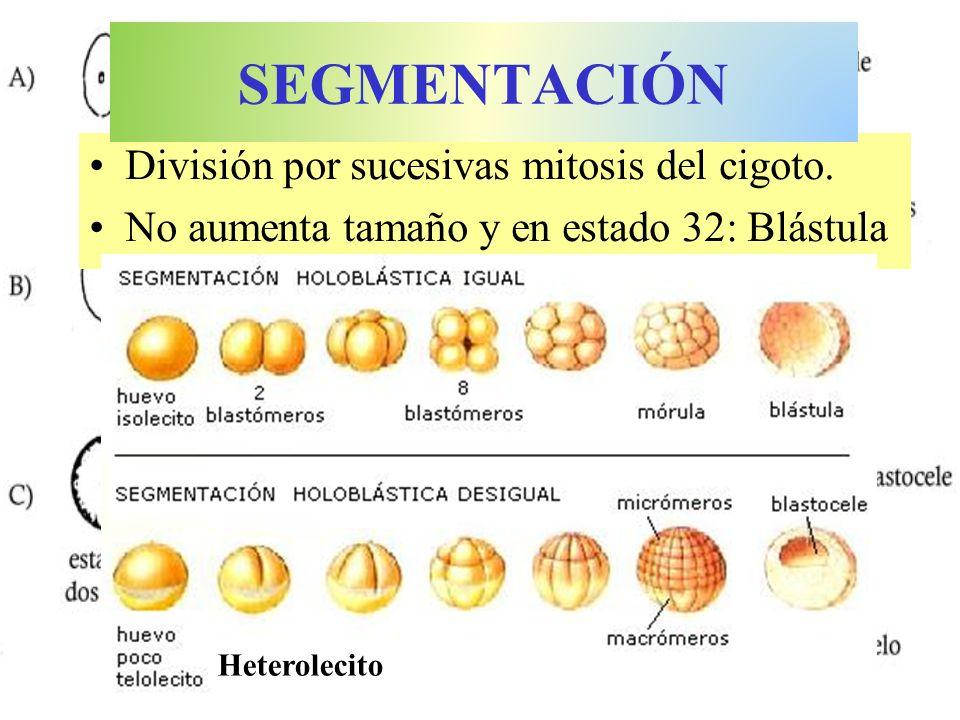 División por sucesivas mitosis del cigoto. No aumenta tamaño y en estado 32: Blástula SEGMENTACIÓN Heterolecito