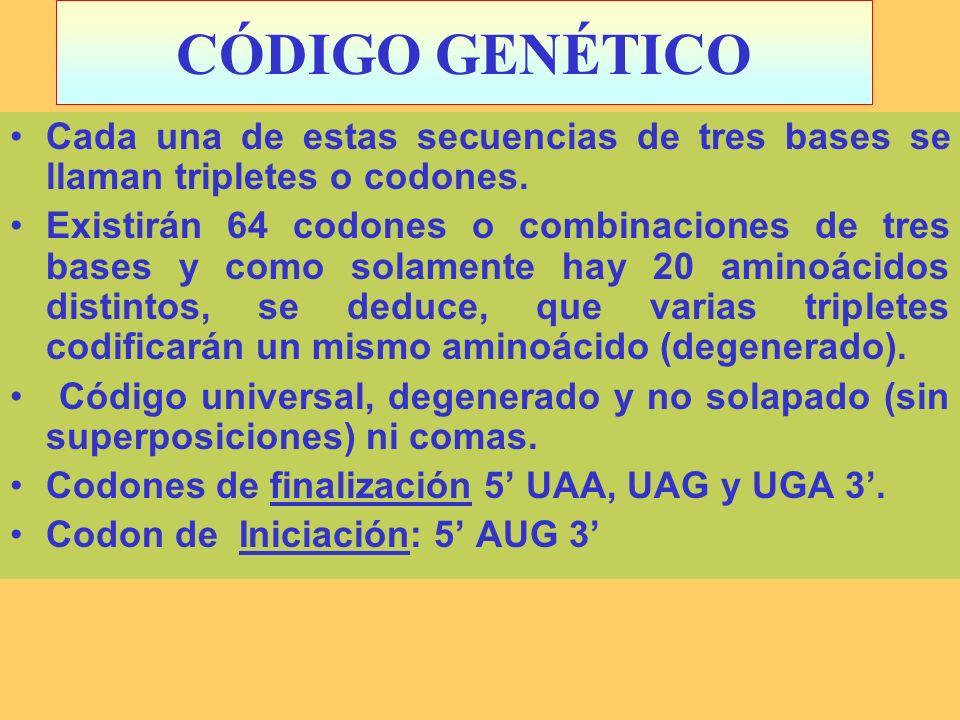 CÓDIGO GENÉTICO Cada una de estas secuencias de tres bases se llaman tripletes o codones. Existirán 64 codones o combinaciones de tres bases y como so
